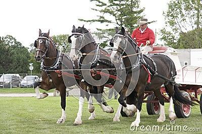 Ganska hästar för jordbruks- utkast Redaktionell Arkivfoto