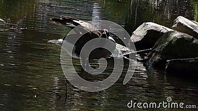Ganso canadense saltando e balançando num lago de verão filme