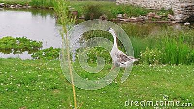 Ganso que anda à água do lago na exploração agrícola eco-amigável, aves aquáticas video estoque