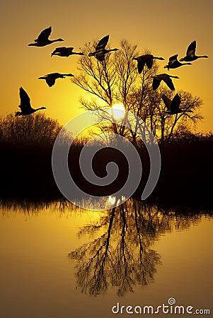 Gansos canadienses en la puesta del sol