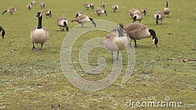 Gansos de Canadá que comem a grama