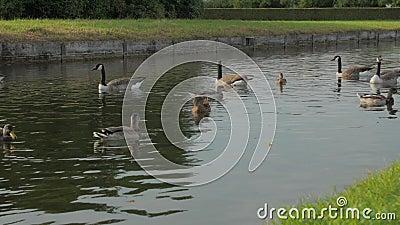 Gansos e patos na lagoa vídeos de arquivo
