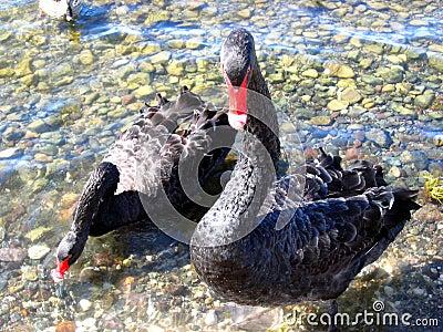 Gansos ou cisnes pretas