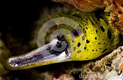 Gaping fimbriated moray eel
