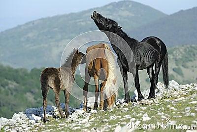 Garanhão e égua