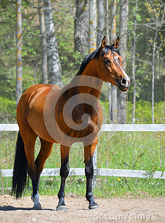 Garanhão do louro da raça ucraniana da equitação