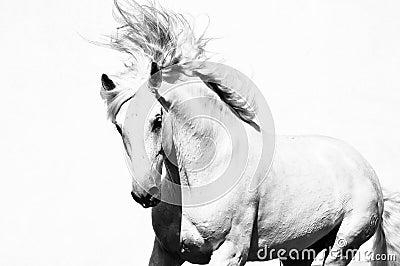 Garanhão árabe branco do cavalo isolado
