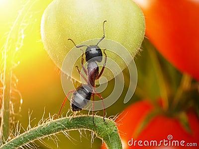 Garden ant checking tomatos