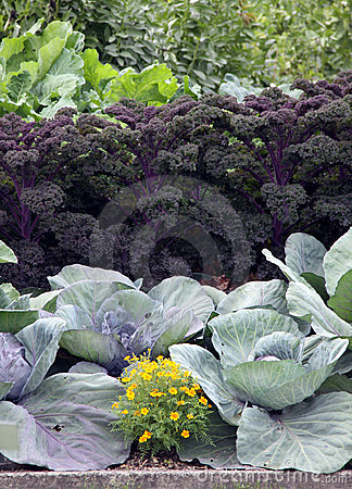 Garden bed with cabage and kale