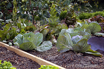 Garden bed with cabbage