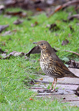 Garden Birds - Song Thrush