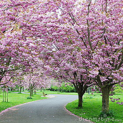 Garden with Cherry Trees in Blossom