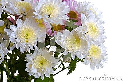 Garden chrysanthemum