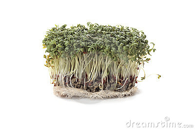 Garden cress (Lepidium sativum)