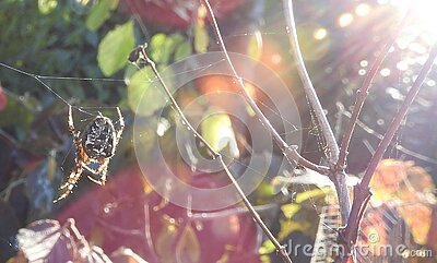 Garden Cross Spider Free Public Domain Cc0 Image