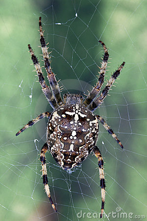 Garden Cross Spider (Areneus diadematus)