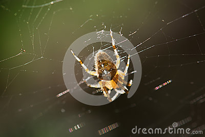 Garden cross spider on the spiderweb
