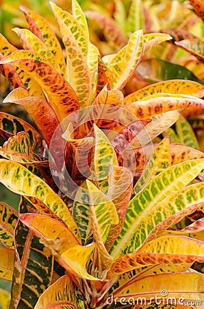 Free Garden Croton Stock Photography - 58833332