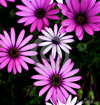Free Garden Daisy Flowers Stock Photography - 70538152