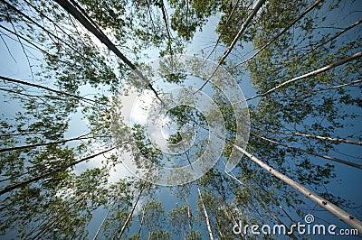 Garden of eucalyptus