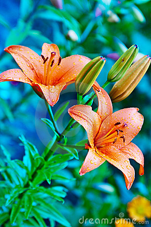 Free Garden Flower Stock Photography - 6312552