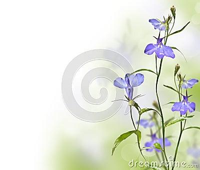 Garden flower lobelia