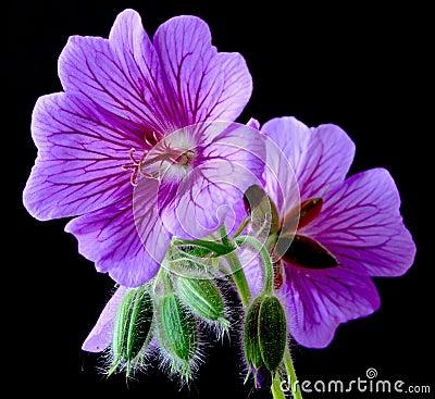 Garden geranium (Ger. � magnificum)