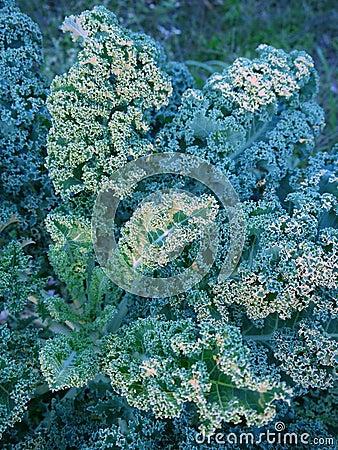 Vegetable garden: kale leaves at sunset