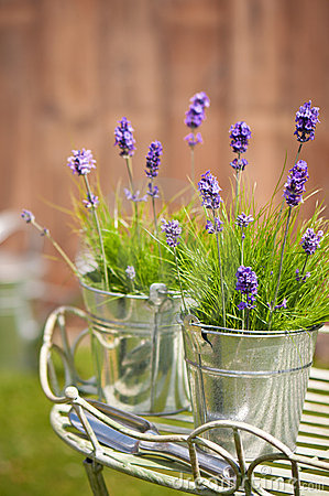 Free Garden Lavender Royalty Free Stock Images - 15705539