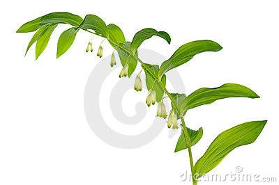 Garden lily-of-the valley