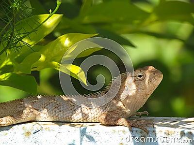 Garden lizard or chemeleon basking