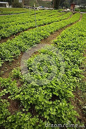 Garden of mints