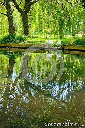 Free Garden Of Swans Royalty Free Stock Photo - 49180185