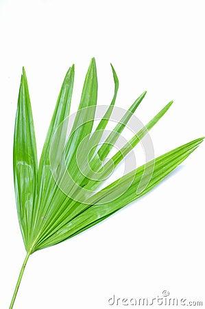 Garden palm leaf
