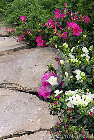 Garden path with rhododendron