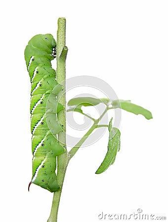Free Garden Pest (tomato Hornworm) Royalty Free Stock Photo - 15961905