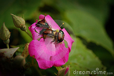 Garden Pests - Japanese Beetles