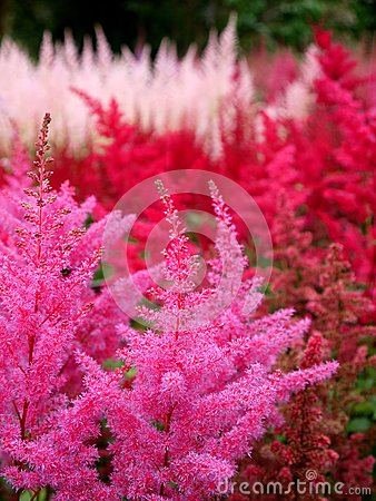 Garden: pink and red Astilbe flowers