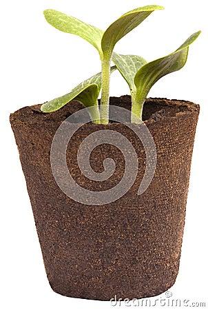 Garden Plants Gardening Zucchini Squash Seedlings