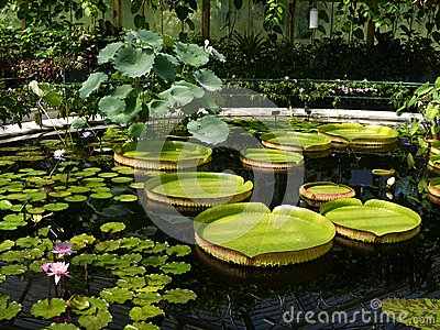 Garden: pond with giant waterlilies