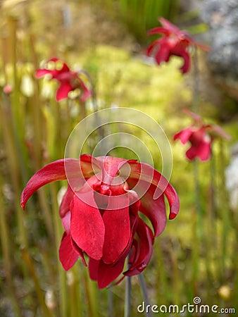 Garden: Red pitcher plant flowers