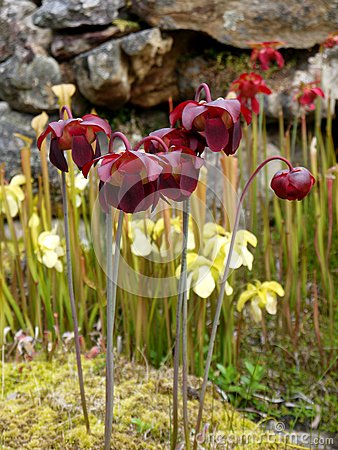 Garden: Red and yellow pitcher plant flowers