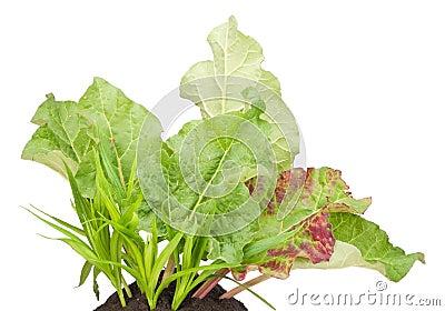 Garden Rhubarb vegetable plant