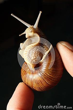 Garden Snail - French delicacy