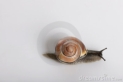 Garden snail in front of a grey background