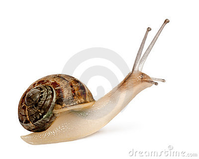 Garden Snail, Helix aspersa, in front of white