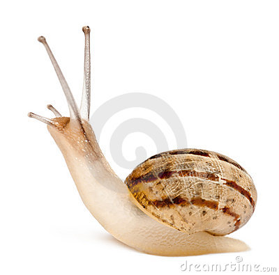Free Garden Snail, Helix Aspersa, In Front Of White Stock Photos - 22928803