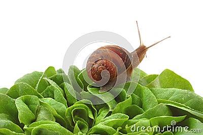 Garden snail on lettuce leafs