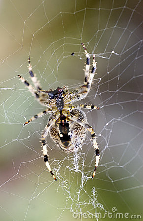 Free Garden Spider Royalty Free Stock Photos - 1274018