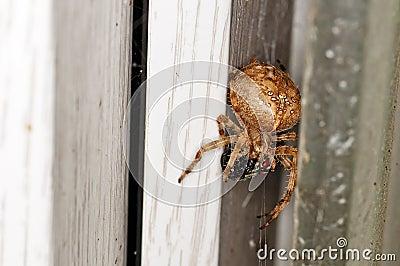 Garden spider,